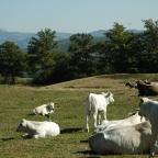 La carne chianina: patrimonio indiscusso del territorio di Badia Tedalda